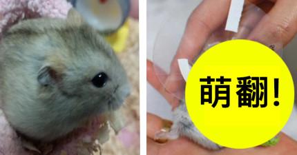 獸醫說要「幫受傷的倉鼠打石膏」時他一臉狐疑,結果倉鼠一出院的模樣讓他被萌暈了!