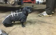 網友在修車廠拍到這隻「正在幫忙修車的狗狗」,看見狗狗超專業的老手表現讓網友都萌到無法上班了!