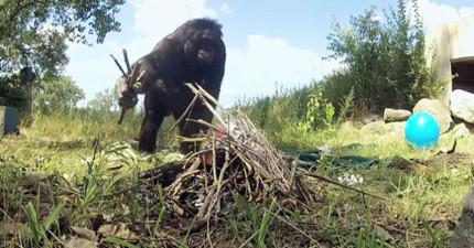 學者將著15隻猩猩放進一間有很多材料的空間裡觀察,結果超意外發現神創論是錯的!