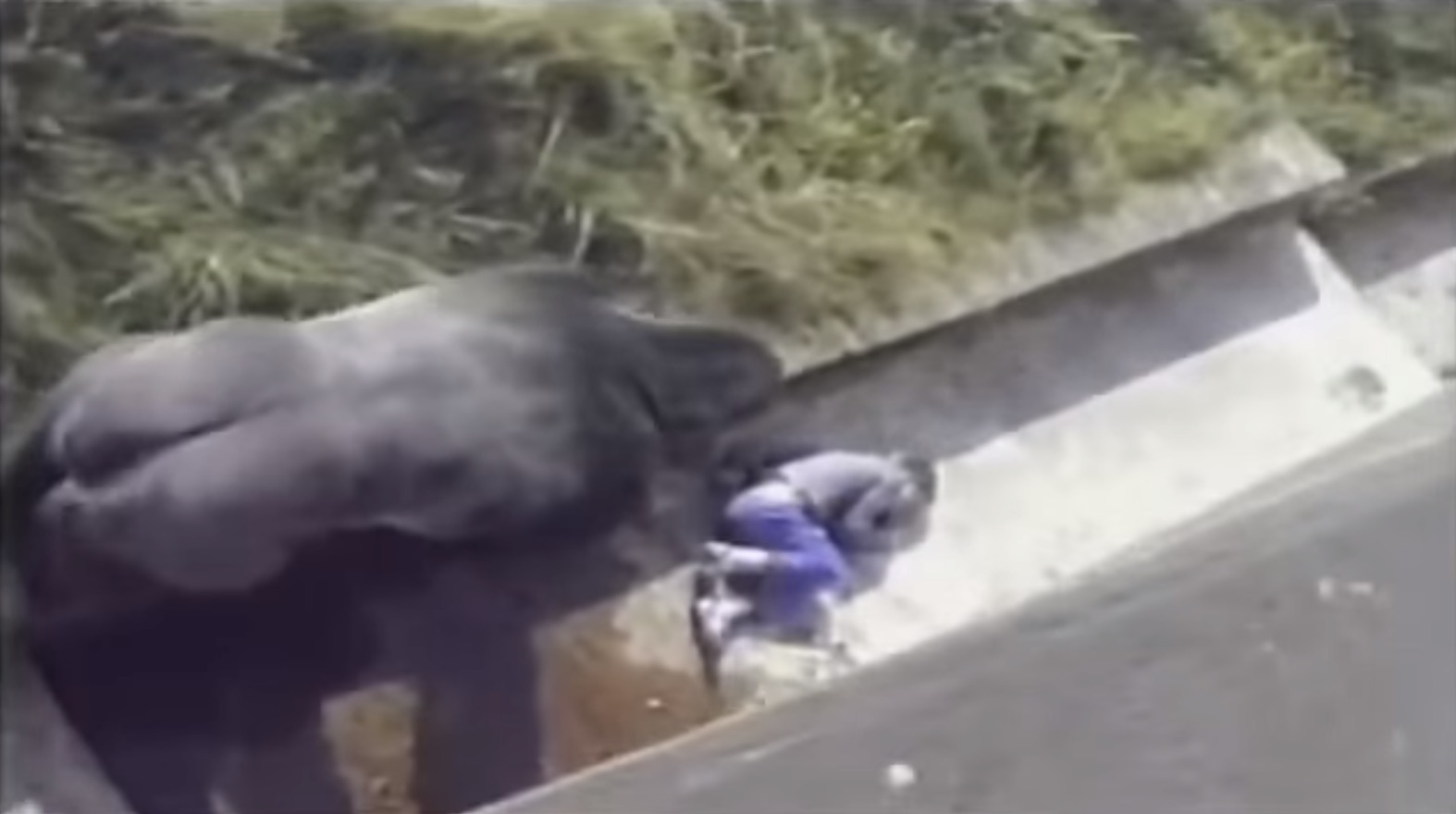 5歲小男孩不小心跌落動物園區 大猩猩靠近後「下秒動作」驚呆全場所有人