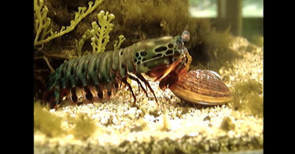 這隻蝦接近蛤蜊時看起來還很平靜,不過牠「猛力使出的螳螂拳」之後造成的傷害會把螢幕前的你也震傻!