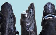 17條其實比大白鯊還恐怖太多的超稀有鯊魚。最新發現的忍者鯊的特異功能也太帥了吧!