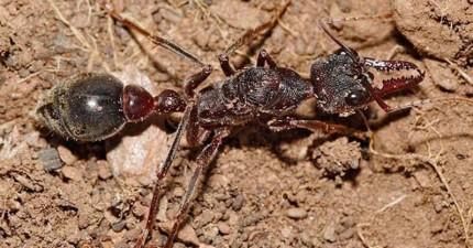這種螞蟻種類真的太好鬥了,所以當你把牠身體切兩半後...