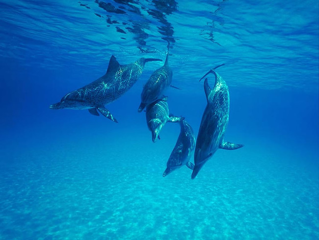 Dolphins rely on echolocation, which is a sense that locates objects by bouncing sounds off of them.