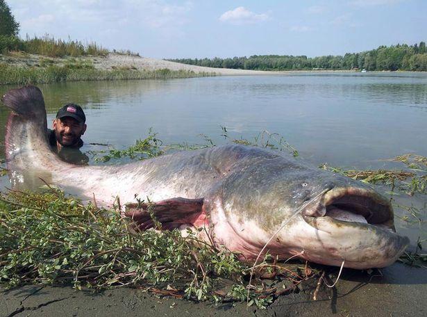 這名漁夫釣到一隻重達120公斤的超巨大神獸級鯰魚,一口都可以把小鯊魚給吞掉了!