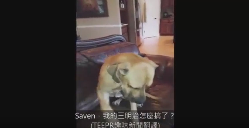 媽媽問三明治跑到哪去了,結果看到狗狗嘴巴凸凸最後終於自首的爆笑模樣會讓你忍不住原諒他!
