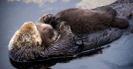 海獺寶寶躺在媽媽身上睡覺爆紅 媽媽趁寶寶「抱住」太萌