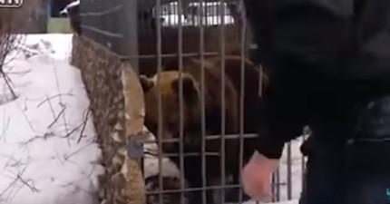 這名男子喝醉酒就跑去想要摸摸野熊的頭,摸了幾下都沒事,但到最後前臂就不見了...