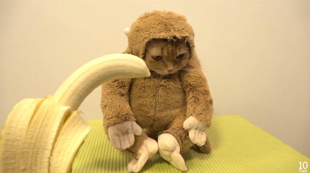 主人幫這隻「喜歡吃香蕉的貓咪」穿上猴子裝,當主人拿著香蕉靠近時...網友完全被萌翻了!