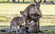 這張「公袋鼠抱住母袋鼠屍體痛哭」的照片讓網友感動萬分,但動物學家跳出來指出「色色真相」讓大家都崩潰了...