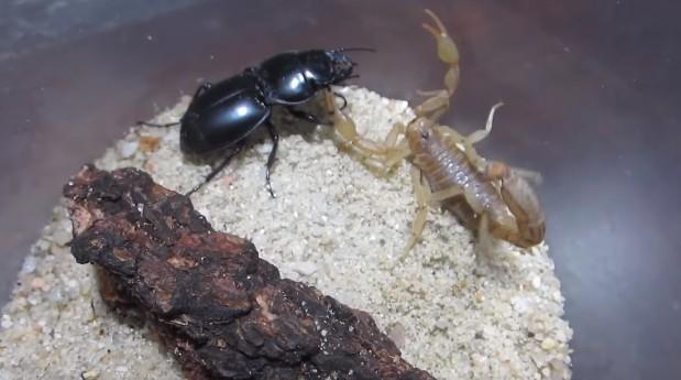 他把蠍子跟甲蟲放在一起的時候我已經默默想「甲蟲RIP」,但下一秒甲蟲就放出超猛大反攻!
