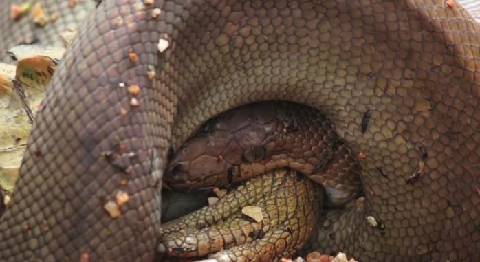這隻巨蟒跟鱷魚纏鬥5個小時之後,最後的超驚悚PK結果畫面已經讓我有點吃不下飯了...