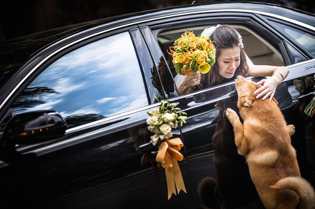 原本新娘要離家已經很捨不得,家中柴犬衝出來「不要走好不好」讓她完全Hold不住淚崩了!