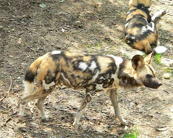 African painted dogs, they're bewitching but dangerous.