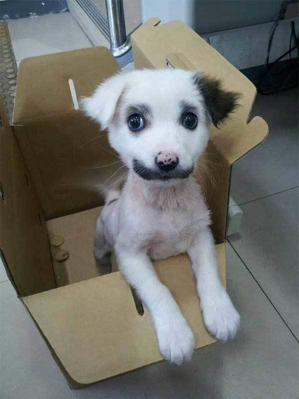 An oreo-toned dog that mustache you a question.