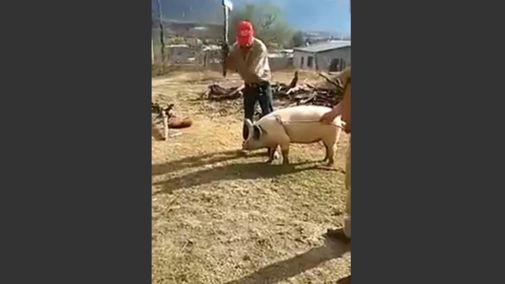 這名農夫舉起斧頭準備朝豬砍下去,結果下一秒「豬八戒」顯靈,發生了超靈異的現世報奇蹟!