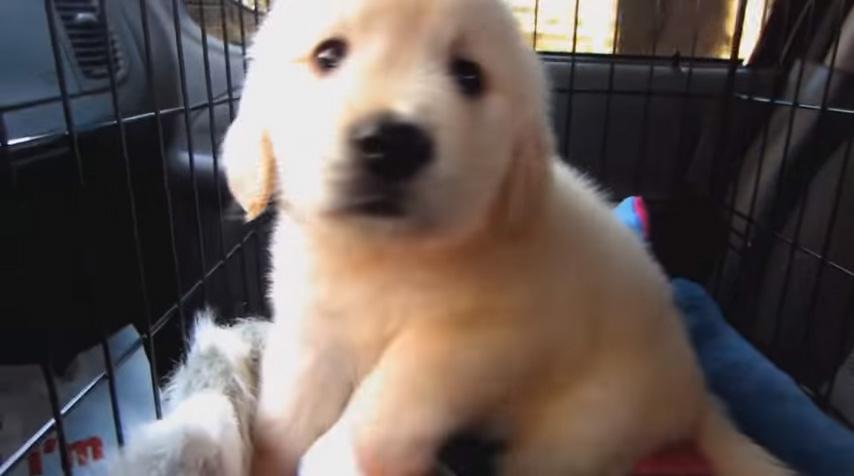 主人錄下寵物黃金獵犬「從幼犬長到1歲」的點點滴滴成長短片。看到他最後超可愛模樣就是你一整天需要的快樂!