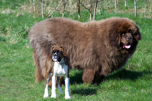 29隻你絕對無法帶上捷運的「超萌巨無霸狗狗」。