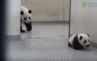 小熊貓偷跑出來閒逛不肯睡覺,結果2:40當媽媽從後面出現走向她時...