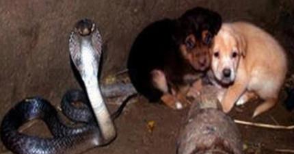 原本我以為這2隻小狗跌進了有眼鏡蛇的井必死無疑,結果眼鏡蛇接下來的「極度不科學反應」已經讓我嗚住嘴巴了!