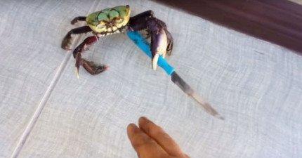 這隻意外撿到一把刀的流氓螃蟹真的太兇猛霸氣了,當不怕死的人類試圖伸手接近他時...