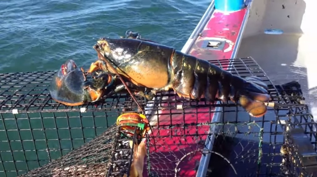 漁夫成功捕撈到這隻「超重量級的肥美龍蝦」後,突然意識到「絕對不能吃牠」...!