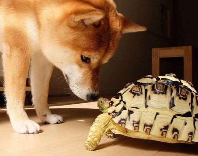 主人本來想說養隻烏龜跟柴犬作伴,沒想到最後感情太好柴犬就以為自己也是隻烏龜了!連行為也...