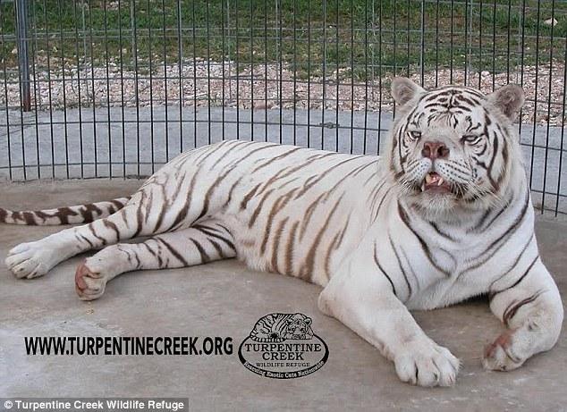 很多人看到這隻白老虎都覺得很醜,但他長相背後的故事會讓你發現人類更醜陋!