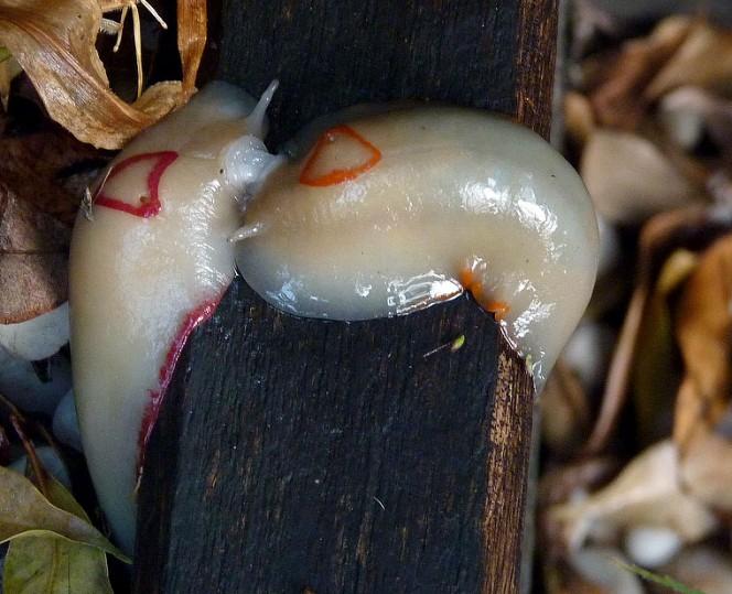 當你的庭院出現這種蛞蝓時千萬別殺他!背後帶來的驚人效益保證讓你從此愛上他!