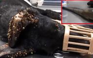 這隻狗狗被發現時快被上萬隻蝨子給咬死、但看到全部蝨子拔掉後壯觀模樣會讓你明天笑著去上班!