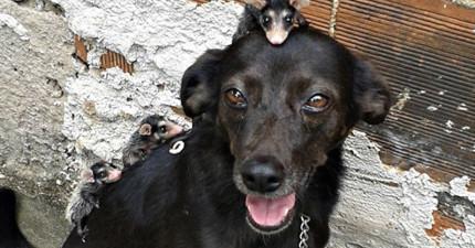 這隻狗狗「被負鼠爬滿全身的模樣」嚇壞了很多網友,但瞭解背後故事後都忍不住鼻酸了!
