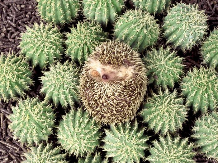 cute-hedgehogs-50__700