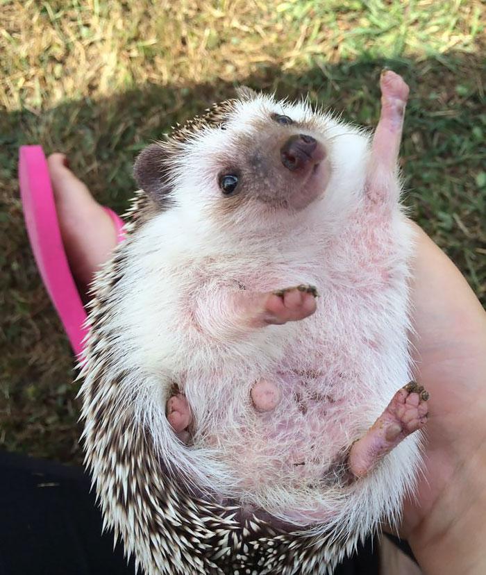 cute-hedgehogs__700