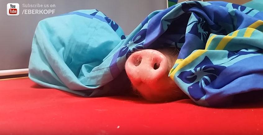 這隻小豬豬每天睡到超晚都不肯起床,但當你把他最愛的東西放靠近他豬鼻子時發生的「微動作」會可愛到你以後不捨得吃...