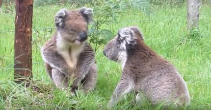 無尾熊睡覺不是最可愛  他們吵架的模樣完全突破想像!