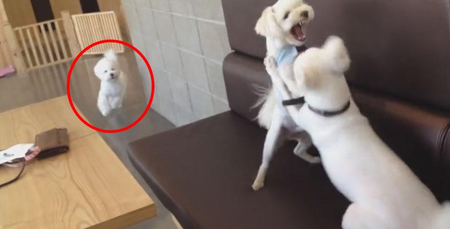 這兩隻狗狗吵得不可開交看起來無法阻止了,但當蓬蓬角頭老大一出現...他用超「老大」的方式解決問題讓我太佩服了!