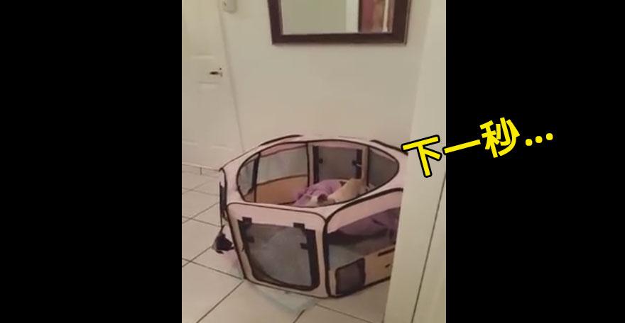 主人一直很狐疑想說小狗狗怎可能逃出狗籠,當他偷偷拍攝時就發現到原來是奸詐貓咪的天才拯救計畫!