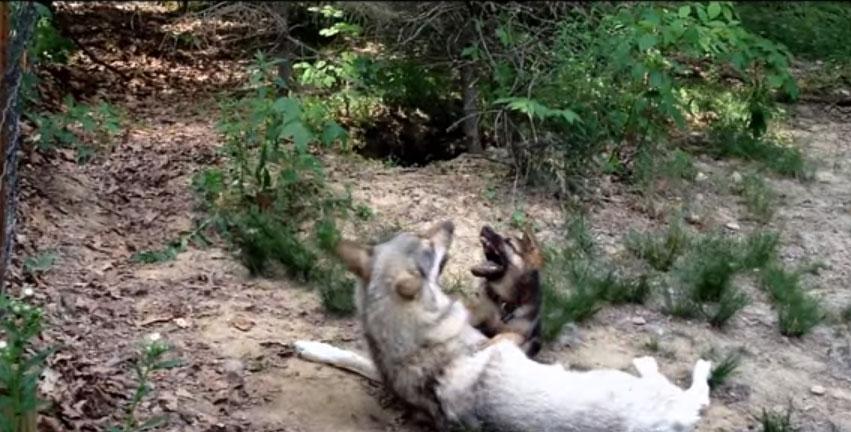 看到這隻狗寶寶被大野狼抓到後我真的不忍看下去,但沒想到接下來的畫面讓我忽然心情超好!