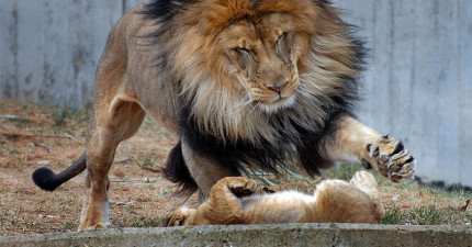 這隻獅子爸爸正要教訓調皮孩子以為老婆不會看到,結果當老婆忽然出現做的事情就讓人看到誰是一家之主了...