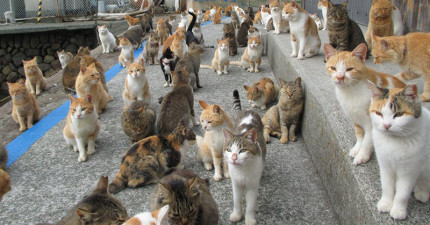 日本貓島上貓咪實在太多導致食物短缺,但現在當地居民卻瘋狂拜託網友不要再送貓食來啦!