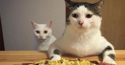 主人將這2隻小貓咪每天「盯著人類食物虎視眈眈」17張照片上傳後爆紅,看看右邊那隻第3張...根本可以得奧斯卡了!