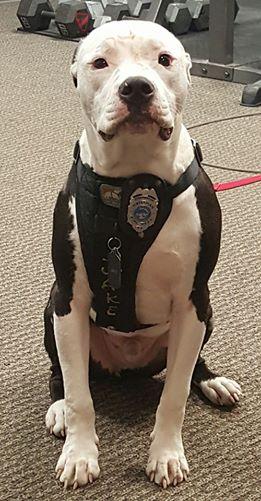 這隻小鬥牛犬數週大時「全身被嚴重燒傷」就被拋棄,但他現在長大變成火警犬的超可愛模樣會給你希望!