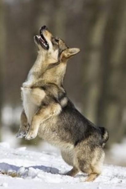 當你還覺得柯基屁屁最可愛,「狼犬和柯基混合體」的短腿大屁屁瑞典牧羊犬已經造成網路大轟動了!