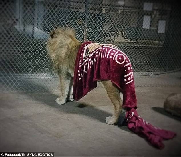 這隻小獅子被主人遺棄因此需要毯子才能安心入睡,他現在長大後還賴著毯子的模樣讓我的心融化了...