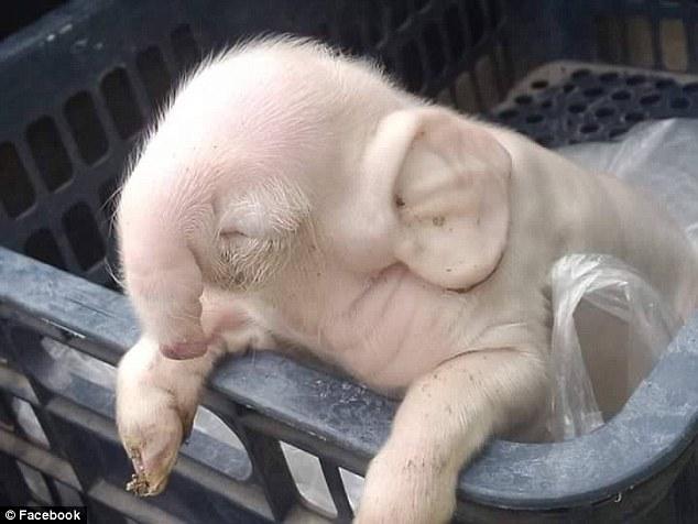 一隻豬媽媽居然生出了一隻大象寶寶,「不可能的模樣」讓我覺得人類真的太過分了!