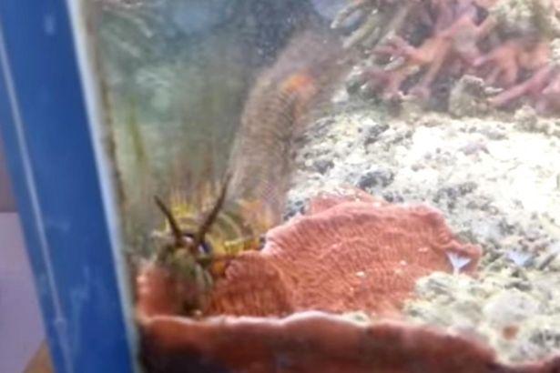 他一夜間發現魚缸裡的珊瑚都不見了,當仔細看才發現一條比「小朋友還大的龍獸」噁心擩動!