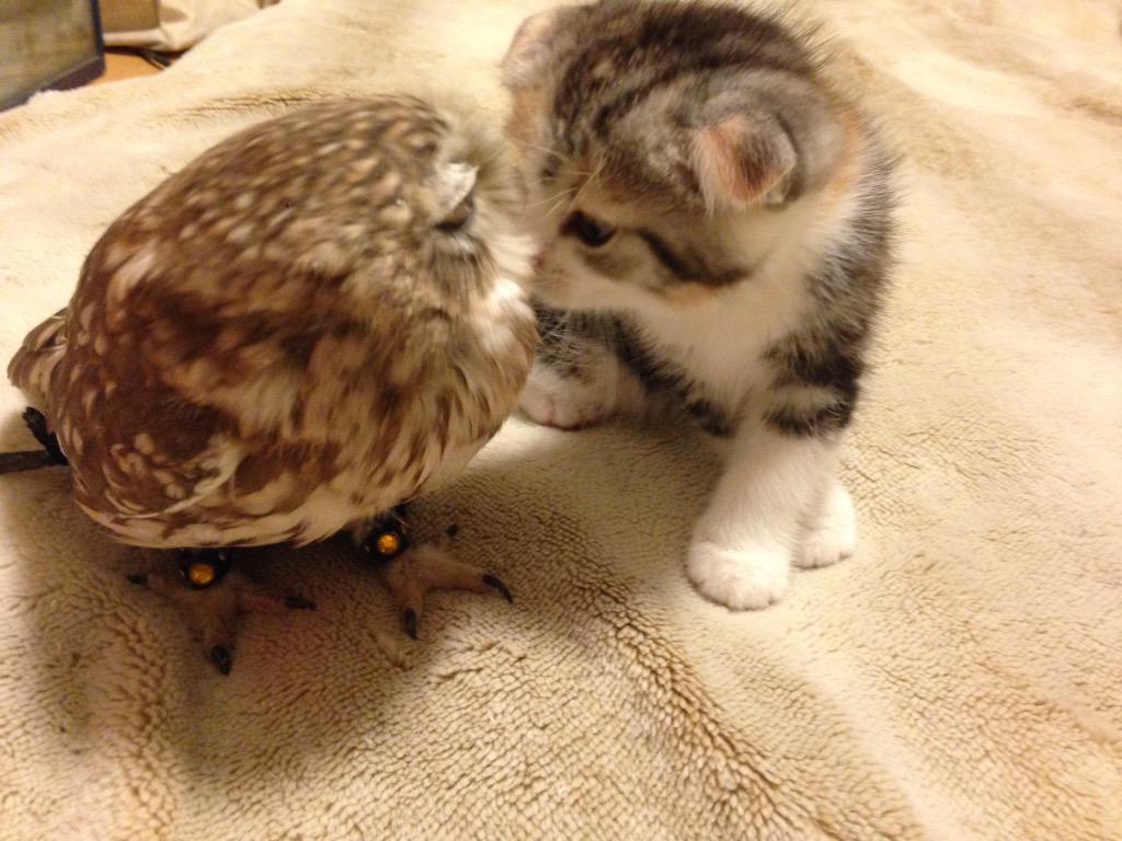 26張養過貓頭鷹的人才能看懂的「古靈精怪貓頭鷹超萌照」!他們遇到威脅時假裝是樹枝的模樣真的太爆笑了!