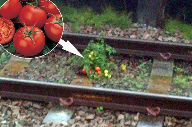 小時候我一直很好奇「火車上的便便跑去哪裡了」,現在知道後我再也無法用同樣眼光看番茄了!