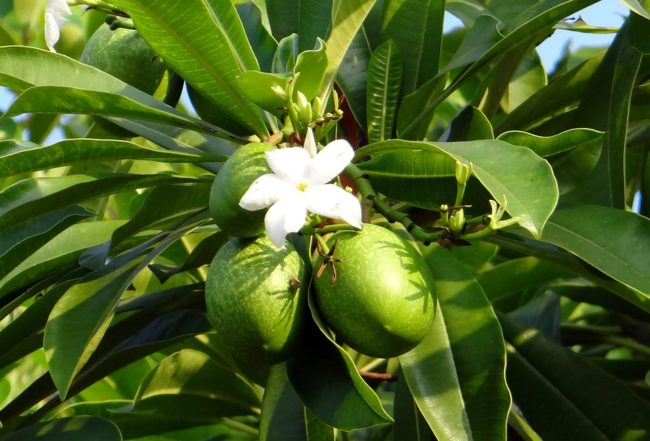 這種劇毒「自殺果實」外型跟台灣土芒果外型相似度高達95%,但一旦不小心食用就會立刻奪走你的性命!