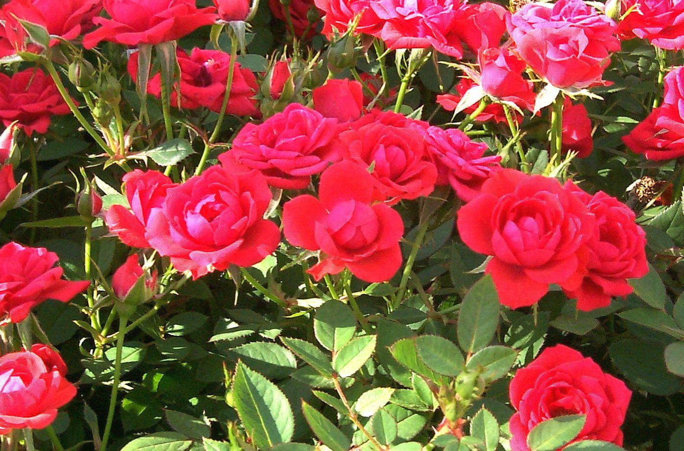 banana-peel-uses-rose-fertilizer